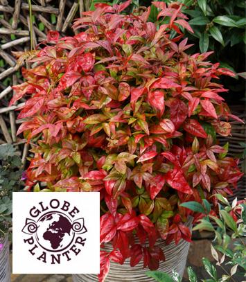Source a id bambou sacre blush pink - Plante exterieur feuillage persistant ...